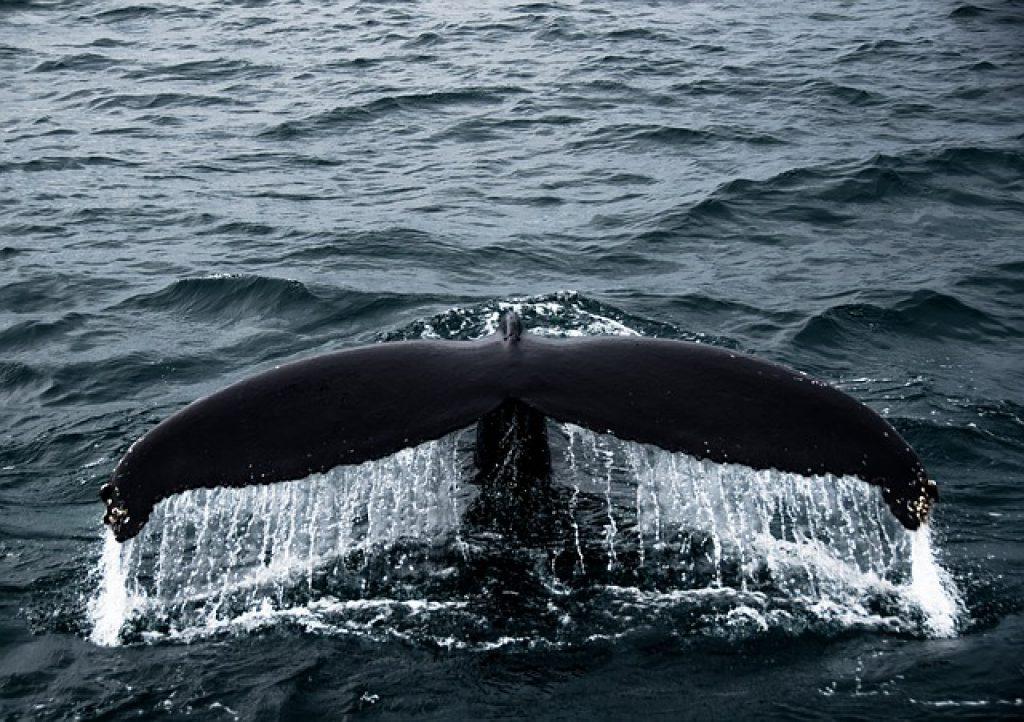 tajemnica bewnego wieloryba